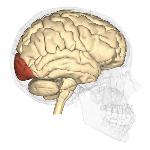 File:Occipital lobe - lateral view.png - Wikimedia Commons
