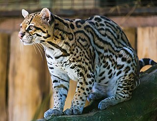Ocelot Small wild cat