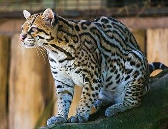 Ocelot - Image: Ocelot (Jaguatirica) Zoo Itatiba