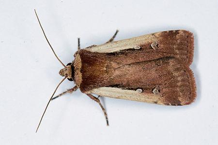 Ochropleura plecta, Lodz(Poland)02(js).jpg