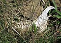 Odocoileus virginianus mandible (white-tailed deer) (northeast of Frazeysburg, Ohio, USA) (25764597587).jpg