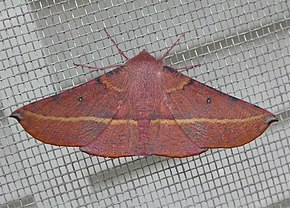 Description de l'image Oenochroma vinaria1.jpg.
