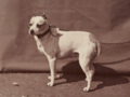 Old English Terrier with cropped ears, 1863.png