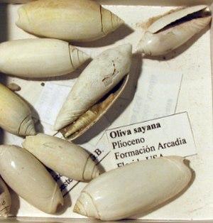 Pliocene - Image: Oliva sayana