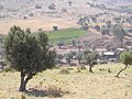 Olive treeon on the trails to Akbara - panoramio.jpg