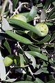 Olives(SALONENQUE) CL1. J Weber (23122152126).jpg