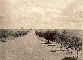 Olivos en 1895.jpg