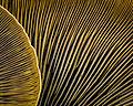 Omphalotus olivascens - Western Jack O'Lantern Mushroom (15889889319).jpg