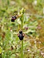 Ophrys incubacea (flower spike).jpg