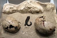Oppidum de la Cloche-crânes humains.jpg