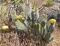 Opuntia polyacantha var erinacea 1.jpg