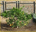 Orange Tree 2-16-14a (12594148504).jpg