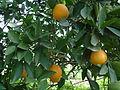 Orange Tree 4.JPG