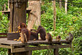 Orangutan feeding.jpg