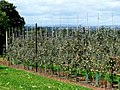Orchards near Weston Under Penyard - geograph.org.uk - 1468857.jpg