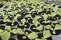 Organic Lettuce.jpg