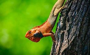 Oriental garden lizard (Calotes versicolor) .jpg