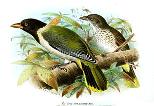 1857 in birding and ornithology - São Tomé oriole described in 1857