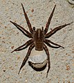 Other insects and things - emale Lycosidae (Wolf Spider) with big ol' egg sac (ID thanks to Cassie Novak) (33920819998).jpg