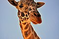 Out of Africa Wildlife Park - Giraffe (7655974560).jpg