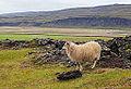 Oveja islandesa, Grábrók, Vesturland, Islandia, 2014-08-15, DD 096.JPG