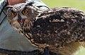 Owl (Strigiformes).jpg