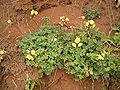 Oxalis pes-caprae pleniflora (San Andrés y Sauces) 05 ies.jpg