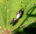 Oxycarenus lavaterae - Flickr - gailhampshire.jpg