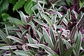 Oyster Plant (Tradescantia spathecea) Vittata Mayflower Faminly (3072503641).jpg