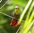 Pássaro - panoramio (1).jpg