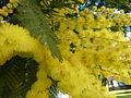 P1120497 flores mimosa Tarrío Culleredo.JPG