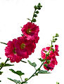 P1260498 Paris XV jardin hopital Vaugirard fleur rwk.jpg