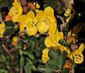 P20160324-0010—Fremontodendron californicum 'Margo'—RPBG (26075183785).jpg