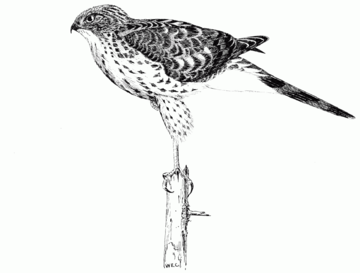 PSM V51 D618 Coopers hawk.png