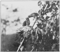 PSM V76 D551 Goldfinch feeding seed pap by regurgitation.png