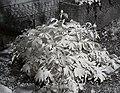Paeonia officinalis 2013 05 05 01.jpg