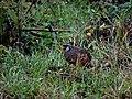 Painted Bush-Quail IMG 6196.jpg