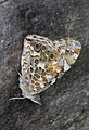 Painted Lady - Vanessa cardui, Calvert County, Maryland (36775198793).jpg