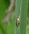 Painted Reed Frog (Hyperolius marmoratus) (16785470715).jpg