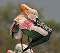 Painted Stork (Mycteria leucocephala) preening in Uppalapadu, AP W IMG 5051.jpg
