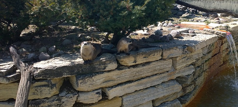 Pair of Lontra canadensis