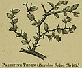 "Palestine Thorn (Ziziphus spina-christi) — Illustration from the book ""A Pictorial Commentary on the Gospel According to Mark"" (1881) by Edwin W. Rice..jpg"
