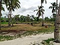 Palm trees near Mitsamiouli beach 2.jpg