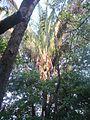 Palma real o Palma de gunzo - Attalea rostrata 01.jpg