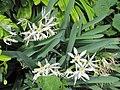 Pancratium illyricum (1).jpg
