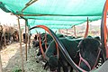 Pandharpuri Breed Cattle at Government Fodder Camp in Osmanabad District.jpg
