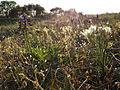 Pannonische Frühlingsannuelle und -geophyten sl4.jpg