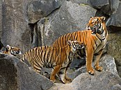 Panthera tigris corbetti (Tierpark Berlin) 841-723- (118) .jpg