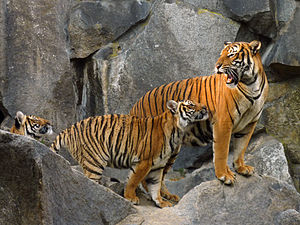 Indochinese tiger - Indochinese tigress and cubs at Tierpark Berlin