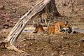 Panthera tigris tigris tigress with cubs in water Tadoba - India.jpg